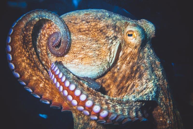 Image sous-marine de poulpe photos libres de droits