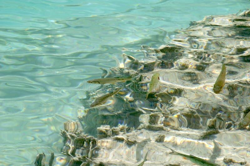 Image sous-marine des poissons de truite image libre de droits