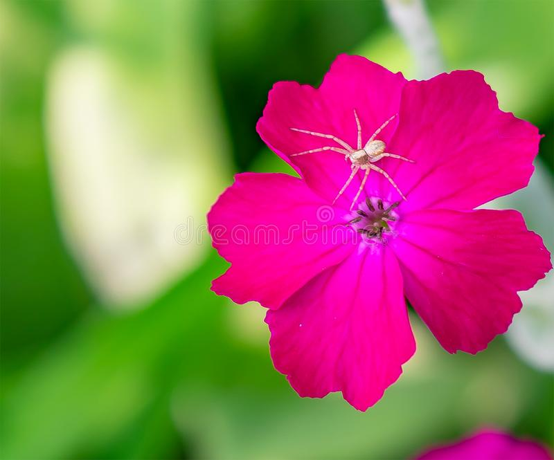 Spider on a Rose Campion Flower stock photo