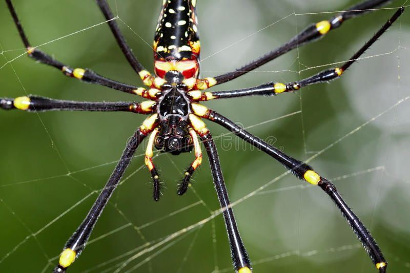 Image of Spider Nephila Maculata, Gaint Long-jawed Orb-weaver. stock images