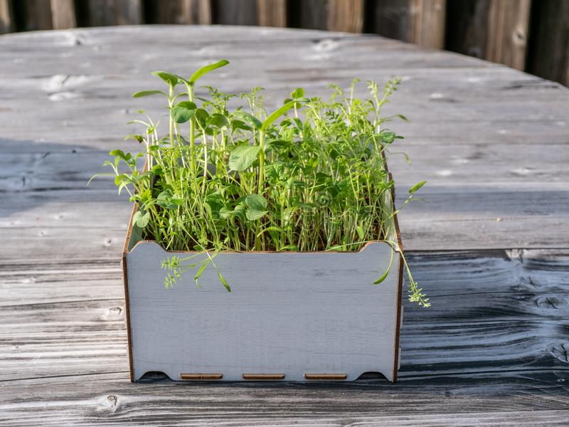 Image of square box with green gras on a wooden table, urban gardening royalty free stock image
