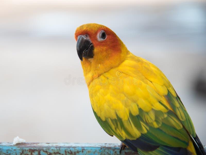 Sun conure parrot close up , Beautiful yellow parrot stock photography