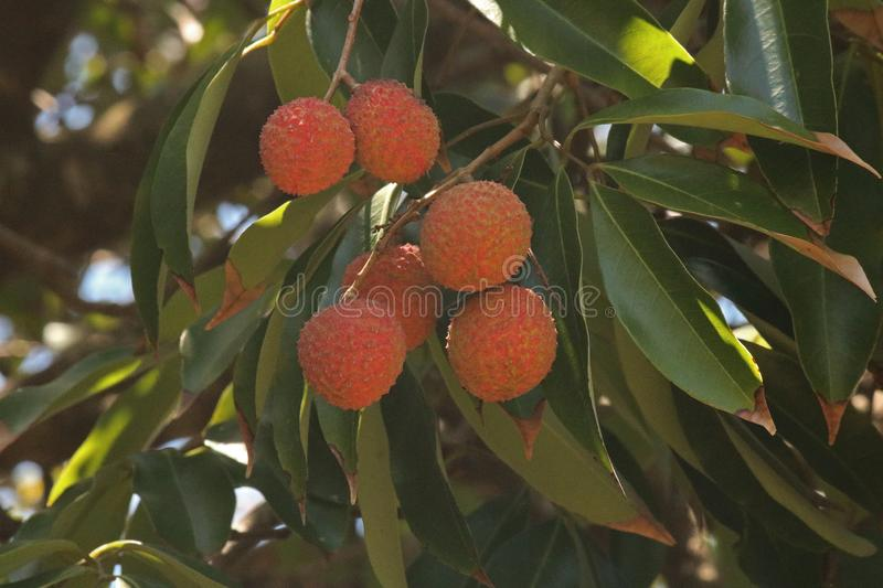 Litchi Tree Stock Images - Download 974 Royalty Free Photos