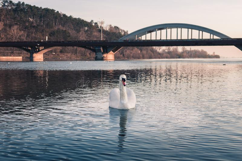 Image - Swan on the river with reflection in crystal blue water and bridge on background. Illuminated Swan posing on river lake. On sunset. Swan on the river in stock images
