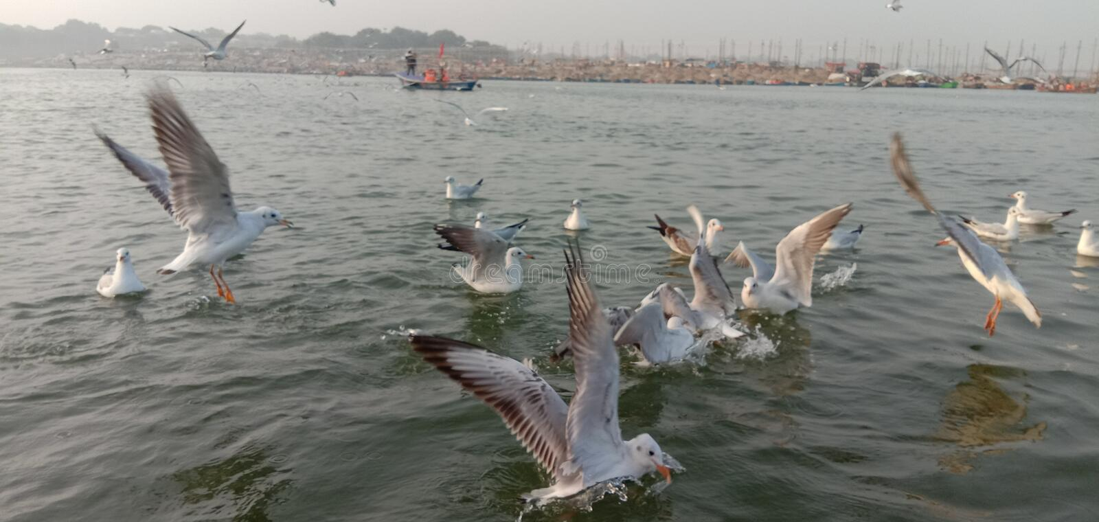 This is the image of syberiyan birds which came at sangam of Allahabad in India. royalty free stock photo