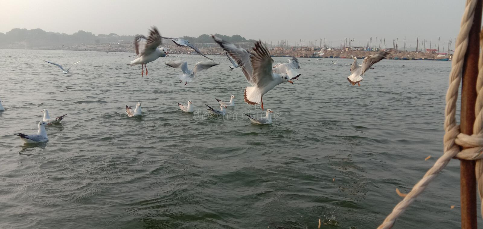 This is the image of syberiyan birds which came at sangam of Allahabad in India. stock photography