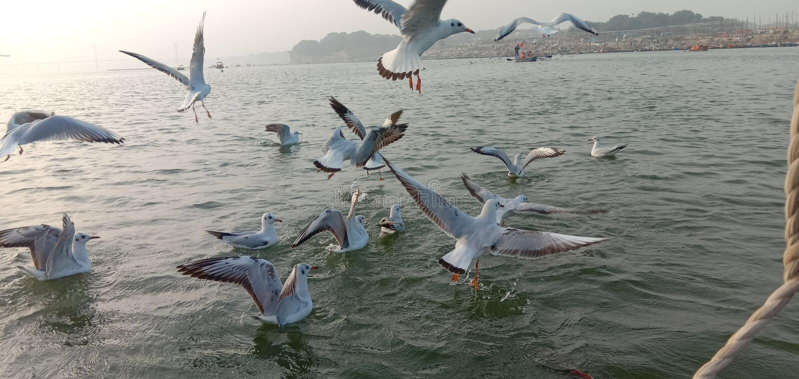 This is the image of syberiyan birds which came at sangam of Allahabad in India. stock image