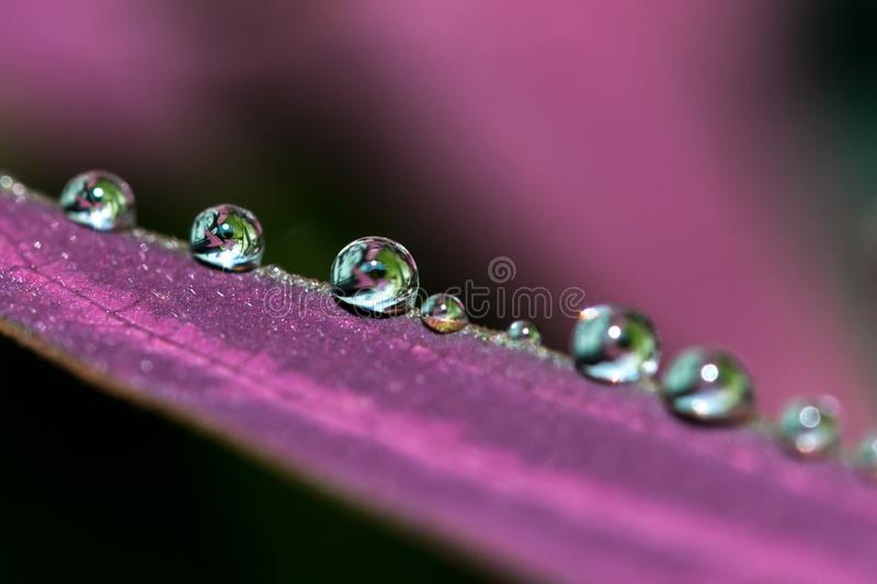 Row of water droplets on purple leave. Image taken after the rain show row of water droplets in different sizes forming on the purple boomerang leave royalty free stock photography