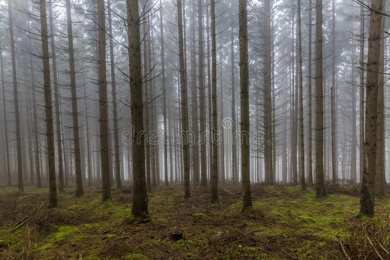 Image of tall pine trees in the forest with moss and branches on the ground with a lot of fog. A mysterious and cold morning on a winter day in the Belgian royalty free stock image