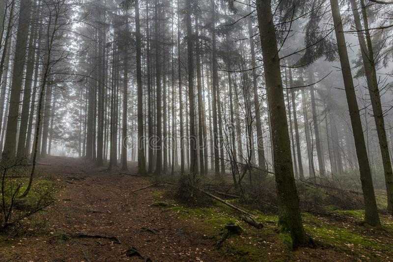 Image tall pine trees and a path from a lower perspective in the forest. Beautiful image tall pine trees and a path from a lower perspective in the middle of the royalty free stock images