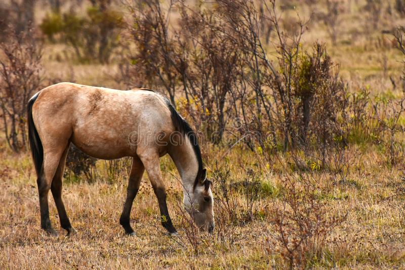Tan Colored Horse Grazing royalty free stock images