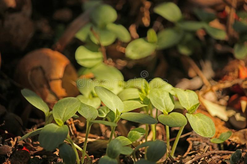 FRESH SEEDLINGS ON COMPOST HEAP. Image of tender young green seedlings sprouting on a compost heap in a garden stock images