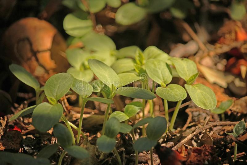 LIGHT ON GREEN SEEDLINGS ON COMPOST HEAP. Image of tender young green seedlings sprouting on a compost heap in a garden stock image