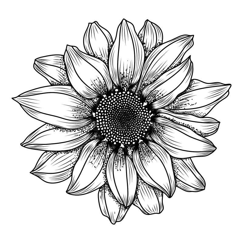 Image tirée par la main de vecteur de fleur de marguerite photos libres de droits
