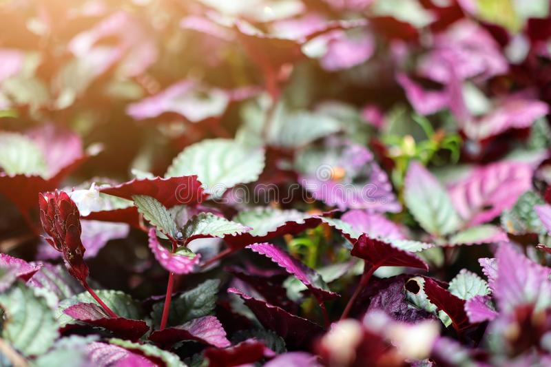 Image top view, dark red and dark green leaves in autumn leaves, natural abstract background, select some focus royalty free stock images