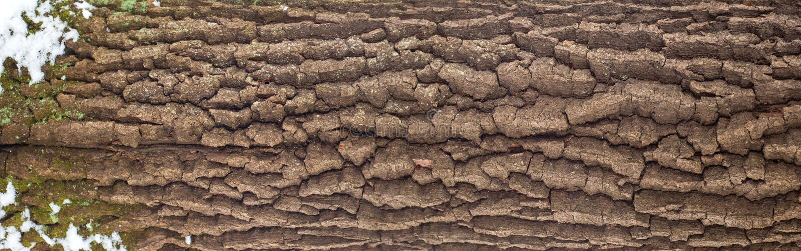 Relief texture of the bark of oak with green moss, lichen and white snow on it. royalty free stock image