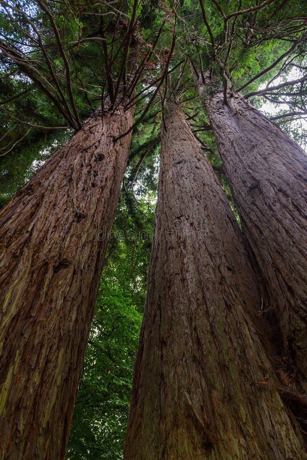 Tree trunks upward, bottom view. Image of tree trunks upward, bottom view royalty free stock images