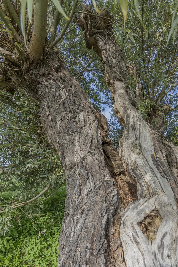 Image of a trunk of a damaged and open tree giving the appearance of being two trees stock photography