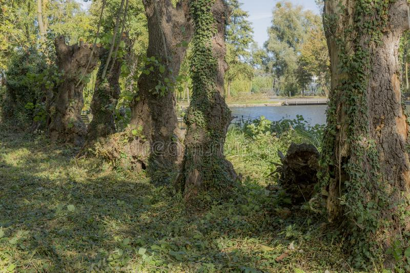 Image of trunks in line with green vegetation with a pond in the background stock image