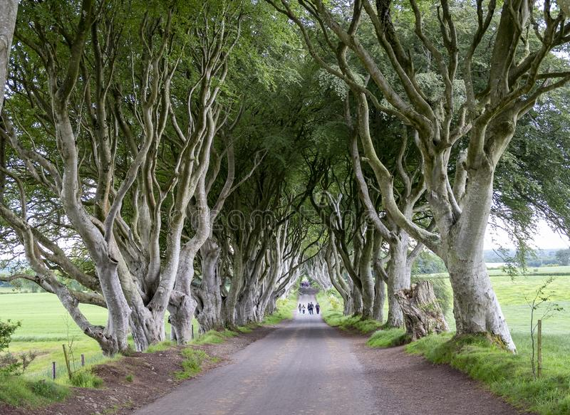 Beech Tree tunnel. An image of a tunnel of Beech trees in Northern Ireland stock image
