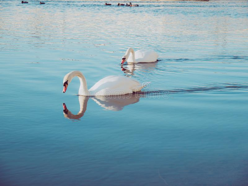 Image of two beautiful white swans swimming on lake on a peaceful day royalty free stock image