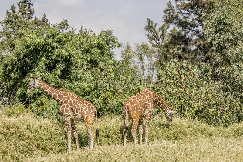 Image of two giraffes eating grass. Beautiful image of two giraffes eating grass on a wonderful sunny day in Guadalajara Jalisco Mexico royalty free stock photography