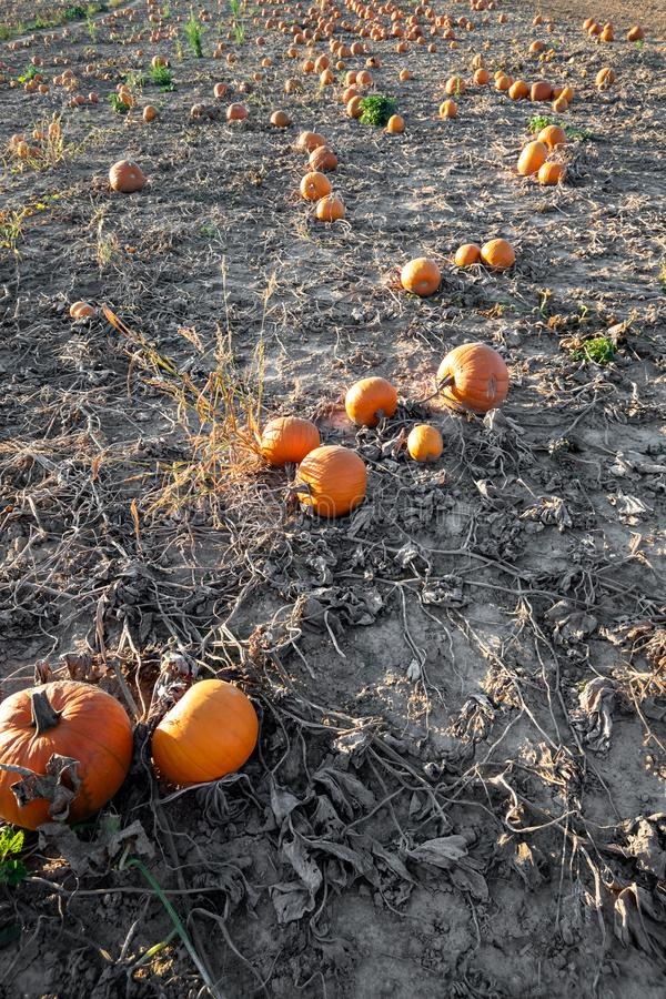Typical field of pumpkin. An image of a typical field of pumpkin stock images