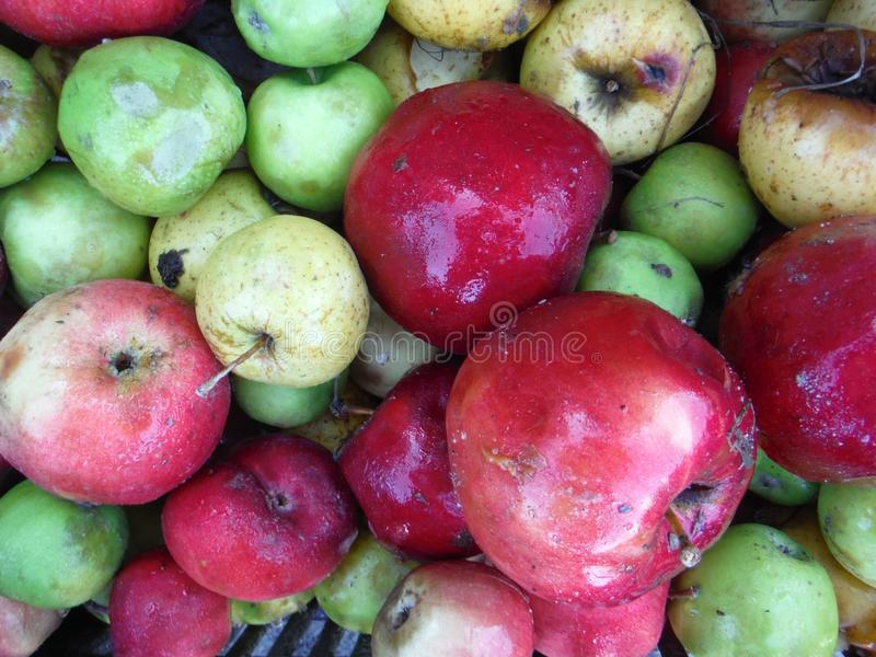 Various Rotten apples. Image of a various colorful wet Rotten apples royalty free stock photography