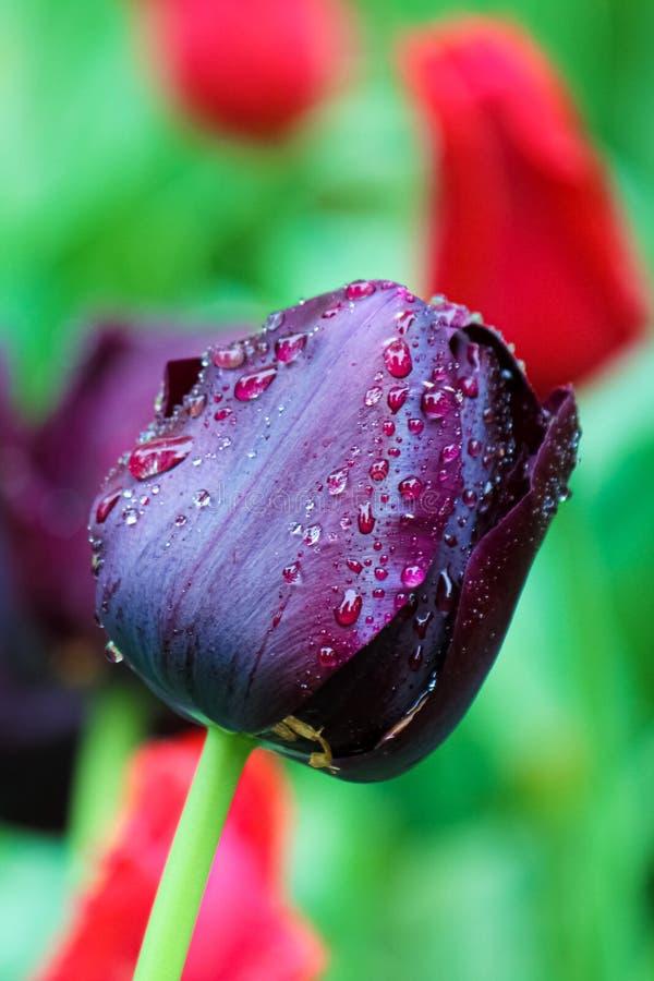 Image verticale de tulipe noire renversante avec des gouttes de pluie sur des pétales Le fond est rouge vert et brouillé Tulipes  images libres de droits
