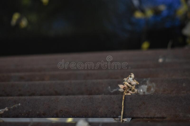 A Dried Out Flower Draped Over A Rusty Railing royalty free stock image
