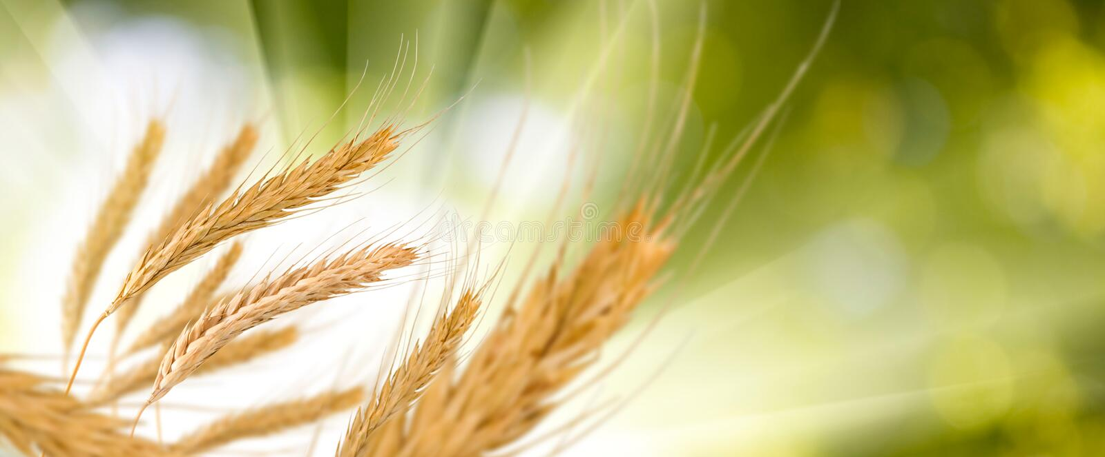 Wheat in field close-up. Image of wheat in field close-up stock photo
