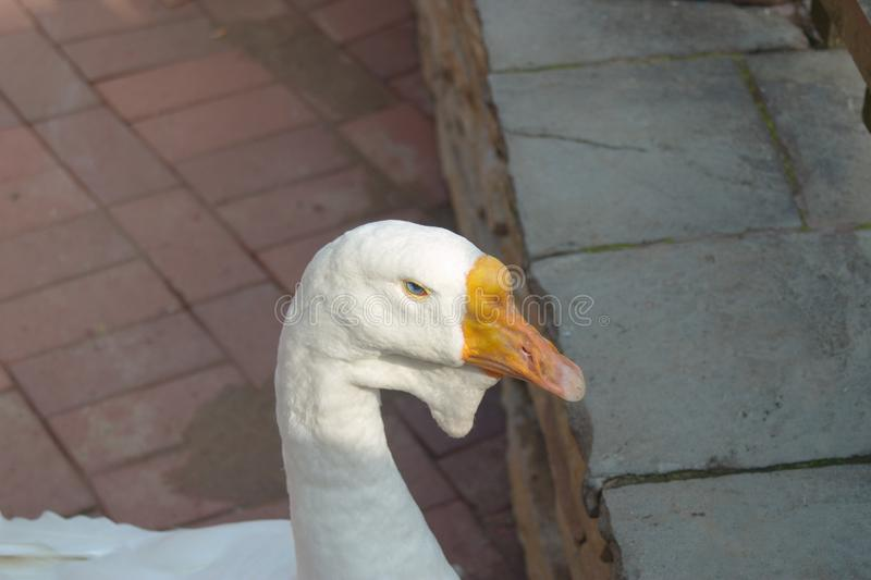 Image of a white goose head royalty free stock image