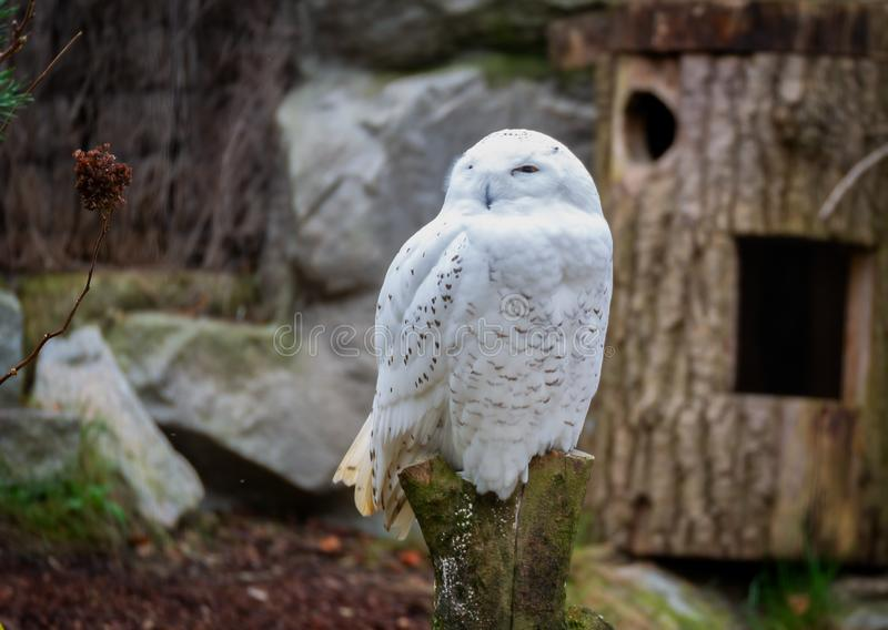 Image of a white snow owl sitting on a stump stock images