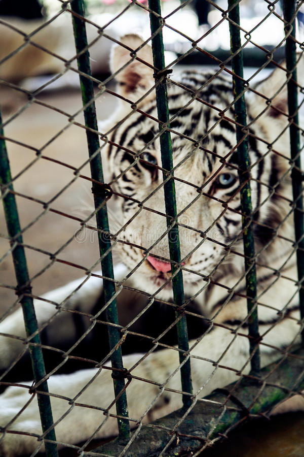 Image of a white tiger in the cage. Wild Animals. Image of a white tiger in the cage. Wild Animals royalty free stock image