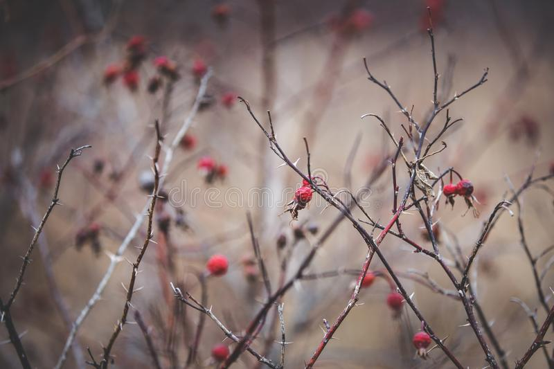 Image of Wild dry dogrose in the field. Image of Wild dry dogrose berries in the field in winter stock images