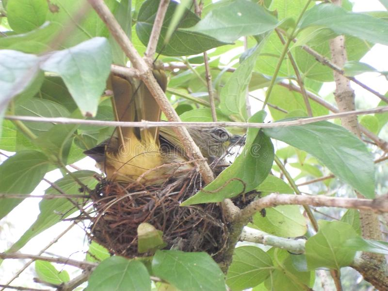 Yellow Bird in the nest worming her egg stock image