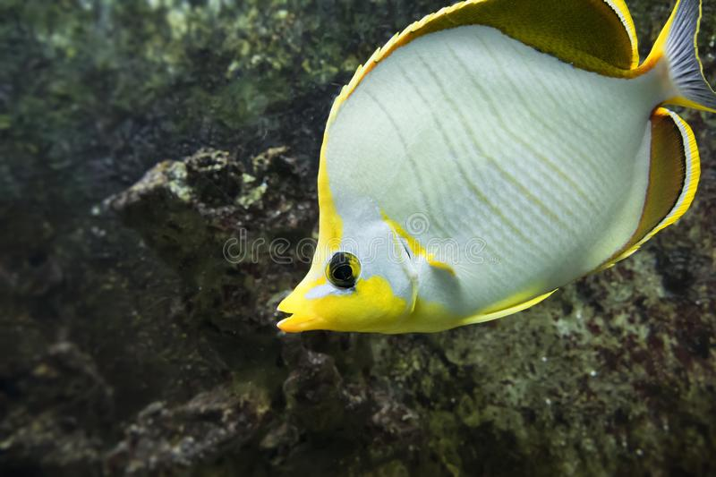Yellow and white salt water fish. An image of a yellow and white salt water fish royalty free stock photography