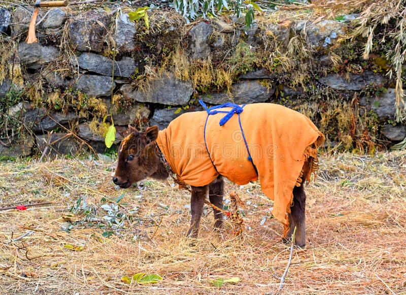 A Young Calf - Kid of Indian Domestic Cow Decorated with Orange Cloth Grazing in Field - Innocence and Cute stock photo