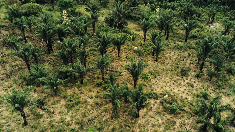 imagem aérea do zangão de uma plantação da palma de óleo como uma razão para o desflorestamento da floresta úmida com as vacas do fotos de stock royalty free