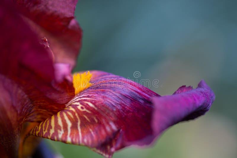 Imagem abstrata do close-up da flor escuro-vermelha da íris imagens de stock