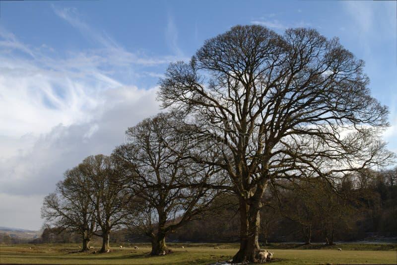 Árvores da mola em Featherstone fotografia de stock royalty free