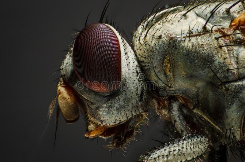 Imagem alta da ampliação de uma mosca comum da casa fotografia de stock