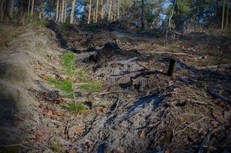 A imagem após abater da floresta - os brotos novos plantados de uma árvore das coníferas gerenciem verde fotografia de stock royalty free