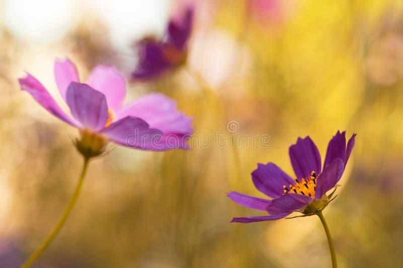 Imagem artística de flores do jardim Flores roxas em um fundo tonificado amarelo Foco macio seletivo fotografia de stock royalty free