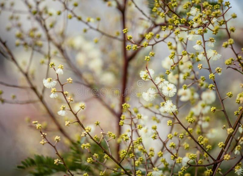 Imagem artisticamente borrada das flores brancas da acácia imagem de stock