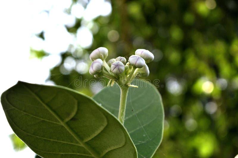 Imagem ascendente próxima da árvore do gigantea de Aak Calotropis imagem de stock royalty free