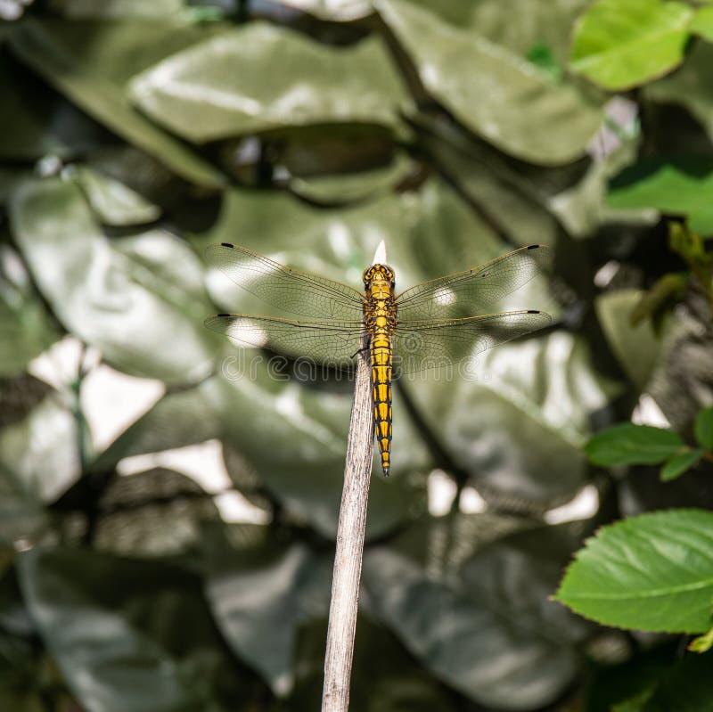 Imagem ascendente próxima da mosca amarela bonita do dragão imagens de stock