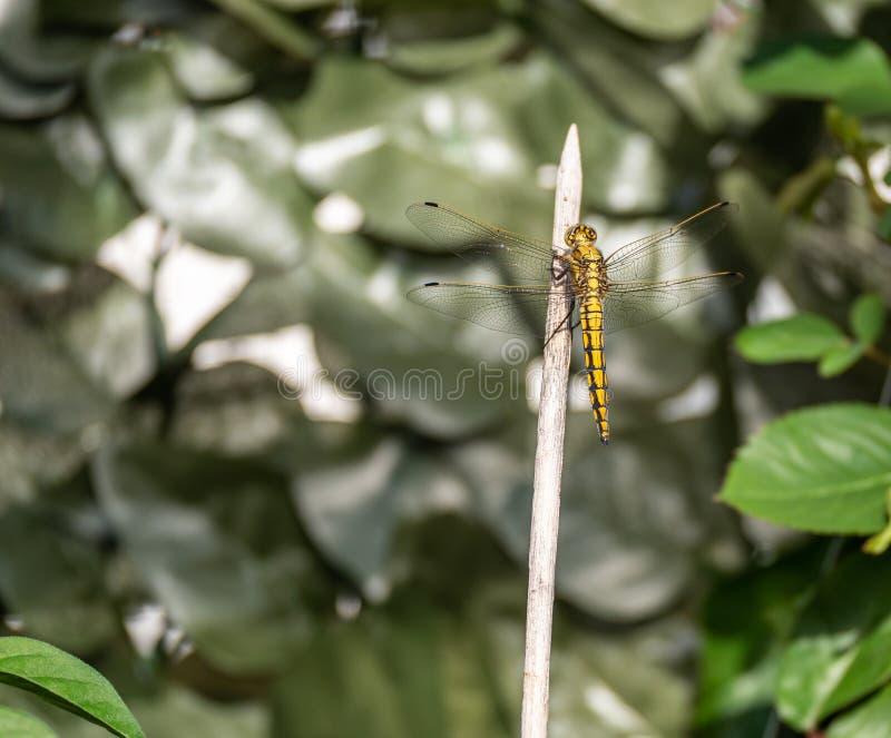 Imagem ascendente próxima da mosca amarela bonita do dragão imagens de stock royalty free