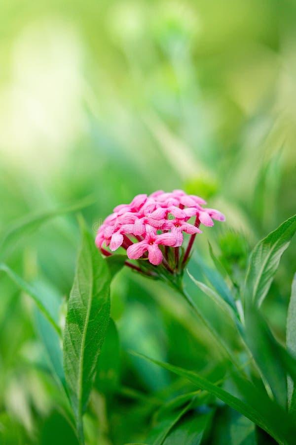 A imagem ascendente próxima de Panamá cor-de-rosa aumentou fundo macio da natureza da flor imagem de stock royalty free