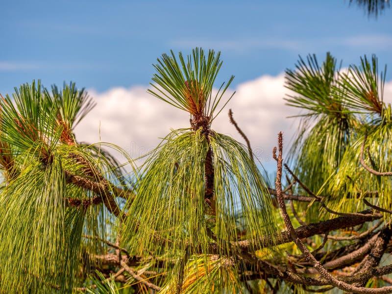 Imagem ascendente próxima de um pinheiro imagem de stock